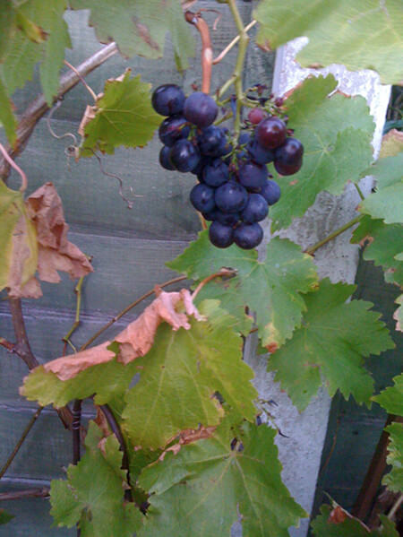 Grapes of Wrath?